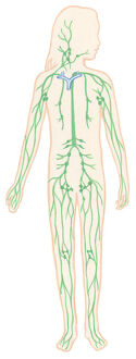 Illustration of human lymphatic system