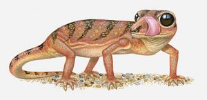 Illustration of Madagascar Ground Gecko (Paroedura pictus) standing with tongue out