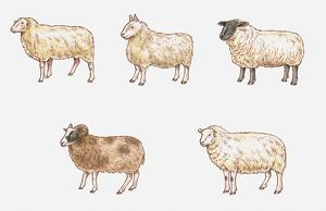 Illustration of Milk, Mule, Suffolk, Welsh Mountain, and Jacob Sheep