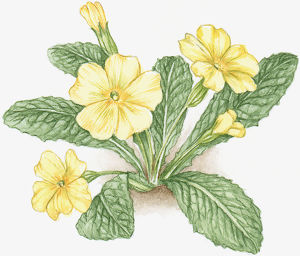 Illustration of Primula veris (Cowslip), with yellow flowers and green leaves