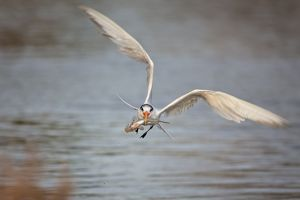 Incoming Tern with fish