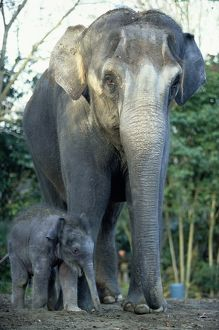 INDIAN ELEPHANTS (ELEPHAS MAXIMUS), MOTHER AND BABY
