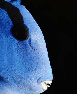 Indo-Pacific Bluetang (Paracanthurus hepatus), close-up