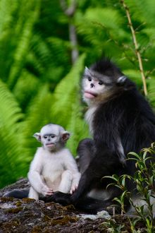 Infant Black Snub-Nosed Monkey and Mother