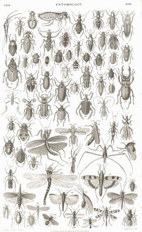 Insects old litho print from 1852