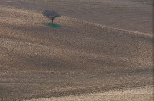 Italy, Tuscany, Siena, lone tree in countryside