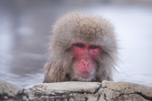 Japanese Macaque Bathing in a Hot Spring