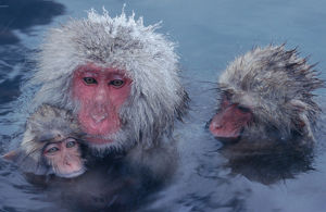 Three Japanese macaques (Macaca fuscata) monkeys in hot spring