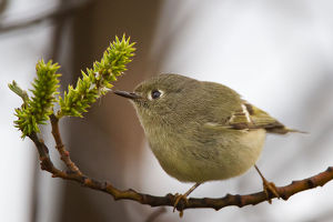 Kinglet bird on branch