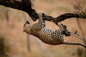 Leopard (Panthera pardus) hanging from tree branch
