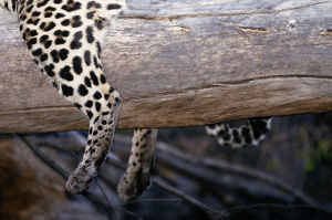 Leopard (Panthera pardus) lying on log, close-up
