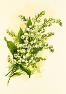 Lily of the valley 19 century illustration