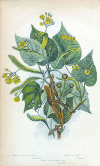 Lime Tree Victorian Botanical Illustration