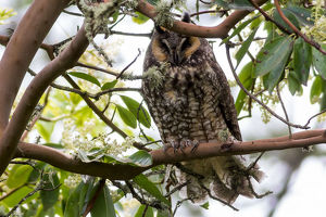 Long-Eared Owl Perched on a Tree