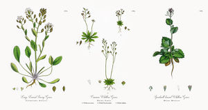 Long-Leaved Scurvy Grass, Cochlearia Anglica, Victorian Botanical Illustration, 1863