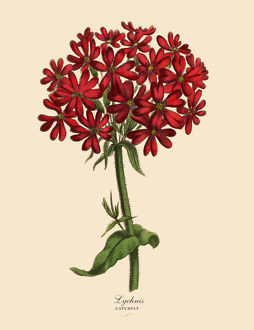 Lychnis or Catchfly Plant, Victorian Botanical Illustration