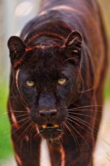 Male black panther walking