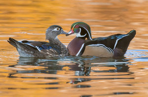 male and female wood ducks in autumn