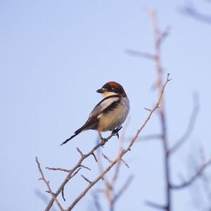 Male woodchat shrike