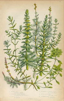 Mares Tail, Horsetail, Water Milfoil and Starwort, Victorian Botanical Illustration