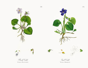 Marsh Violet, Viola Palustris, Victorian Botanical Illustration, 1863