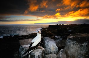 Masked booby (Sula dactylatra) on rocky shore, Galapagos Islands