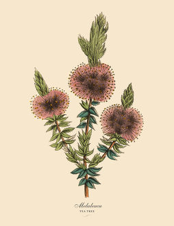 Melaleuca or Tea Tree Plant, Victorian Botanical Illustration