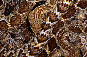 Mexican west coast rattlesnake(Crotalus sp.)