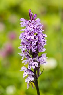 Military Orchid -Orchis militaris-, Allgau, Bavaria, Germany