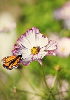 Monarch Butterfly perched on cosmos