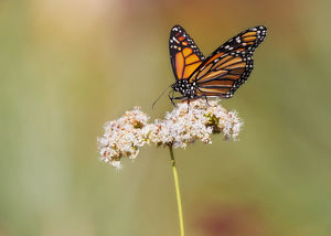 Monarch butterfly perched on wildflower