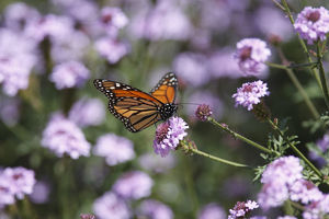 Monarch Butterfly and Verbena Rigida