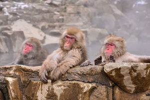 <b>Snow Monkeys Chilling Out, Yamanouchi, Japan</b><br>Selection of 30 items
