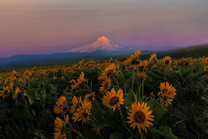 photographers/david gn photography/mount hood wildflowers spring