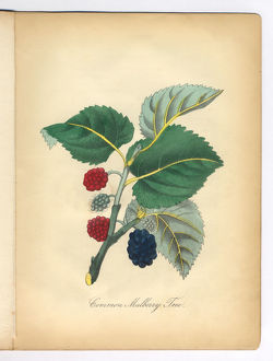 Mulberry Tree Victorian Botanical Illustration