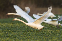 Mute swans -Cygnus olor- flying over a canola field -Brassica napus-, Fuldabrueck