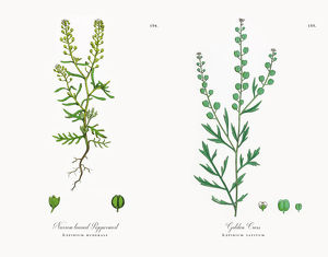 Narrow leaved Pepperwort, Lepidium ruderale, Victorian Botanical Illustration, 1863