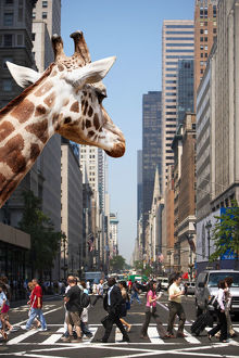 New York City Giraffe