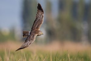 Northern harrier on flight