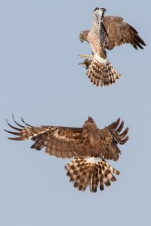 Northern harrier food exchange