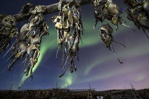 Northern lights and fish heads