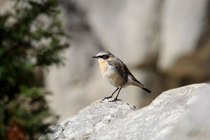 nature wildlife/dieter hopf/northern wheatear oenanthe oenanthe males eclipse