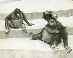 Two orang-utans sitting on steps, (B&W)