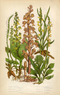 Orchid, Twayblade, Neottia, Listera, Ladya€™s Tresses, Spiranthes Victorian Botanical