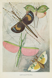 Orthoptera insects chromolithograph 1896