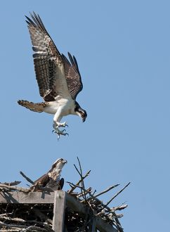 Osprey comes to nest