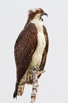 Osprey sitting on branch