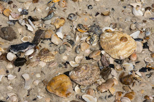 Pacific Oysters -Crassostrea pacifica-, shells, Sylt, Schleswig-Holstein, Germany