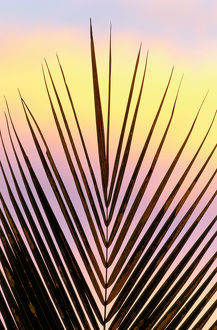 Palm fronds at sunset, Madagascar