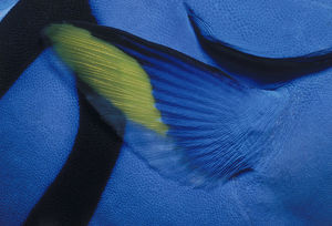 Pectoral Fin of Blue Tang